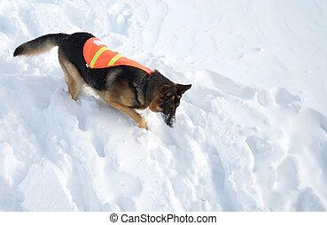 avalanche, salvamento, cão, em, persuit
