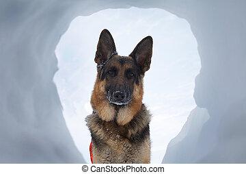 avalanche, salvamento, cão, um, maioria, bem-vindo, vista