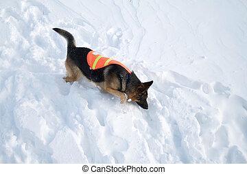 avalanche, salvamento, cão, usos, nariz, procurar