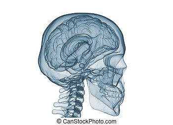 avbild, stråle, x, isolerat, kranium, hjärna, vit