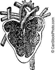 avdelning, hjärta, vertikal, engraving., årgång