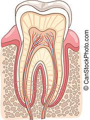 avdelning, läkar illustration, tand