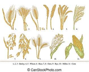 avena, segale, frumento, set., isolato, mano, miglio, orzo, riso, cereale, disegnato, mais bianco