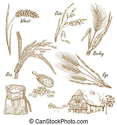 avenas, cereales, f, trigo, set., ilustración, mano, centeno, cebada, dibujado
