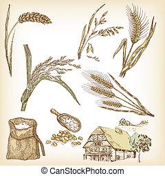 avenas, cereales, trigo, set., ilustración, mano, centeno, cebada, r, dibujado