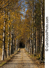 Avenue in autumn - Avenue of birch trees in autumn colors