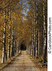 Avenue in autumn - Avenue of birch trees in autumn colors
