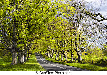 An avenue of ancient beech trees at Badbury Rings / Kingston Lacey in Dorset