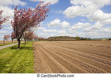 avenue of cherry trees with potato rows