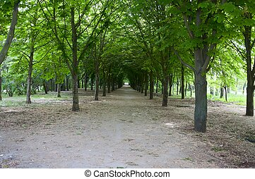 The avenue with chestnut trees in the spring morning