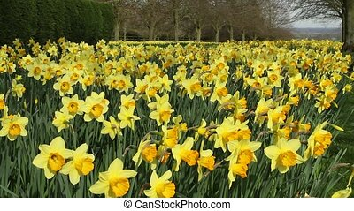 Avenue of Daffodils - A mass of golden daffodils in a tree...