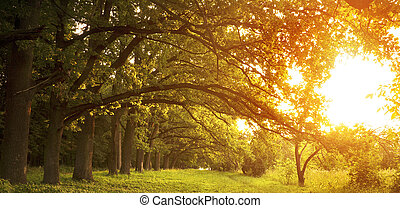 Avenue of oak trees in morning with golden sun