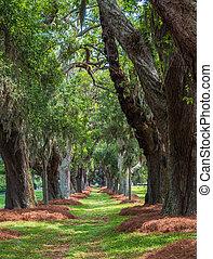 Avenue of Oaks in Spring
