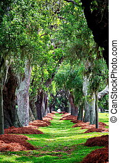 Avenue of Oaks with Pine Straw