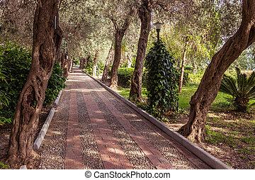 Avenue of olive trees
