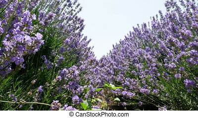 Avenues of grass - Field of beautiful grass of lavender...