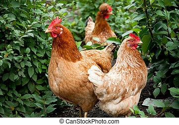 aves domésticas, em, a, aves domésticas, jarda