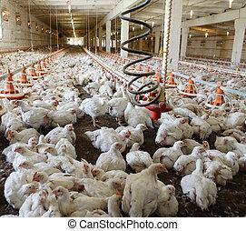 aves domésticas, farm.