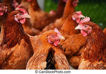 aves domésticas, fazenda, galinhas, livre, tradicional, gama