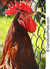 aves domésticas, fazenda, livre, galo, tradicional, gama