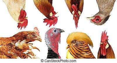 aves domésticas, retratos, cobrança
