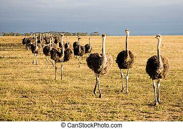 avestruces, en, sudáfrica