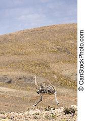 avestruz, corriente, en las montañas, en, bolivia