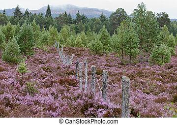 aviemore, flor, lleno, brezo, escocés
