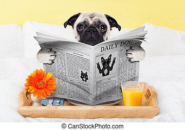 avis, pug hund