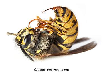 avispa, abeja, o, macro