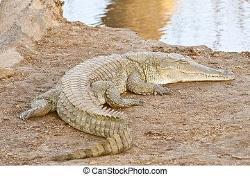 avnjut, krokodil, solsken
