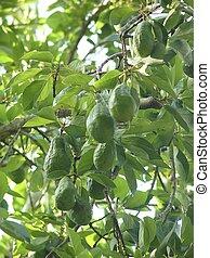 avocado, boompje, met, vruchten, in, mexico