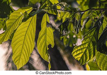 Avocado plant leaves 3