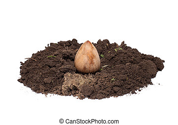 avocado seed in the ground on a white isolated background