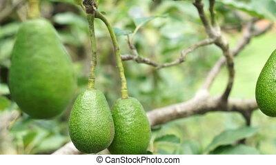 Avocado Tree Fruit Closeup Handheld - Close up handheld shot...