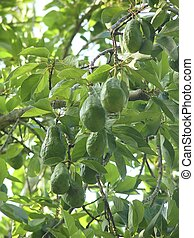 avocado tree with fruits in mexico green leaves