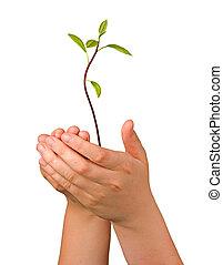 avocadobaum, sämling händen, als, a, geschenk, von, landwirtschaft