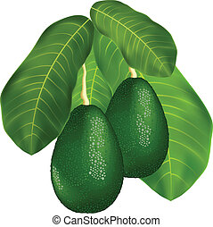 Avocados on a branch with leaves.