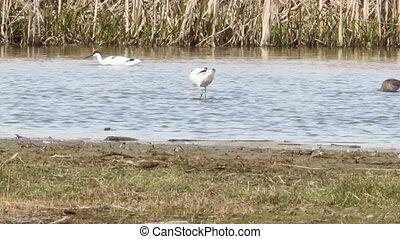 Avocet foraging in water - Avocet foraging in water