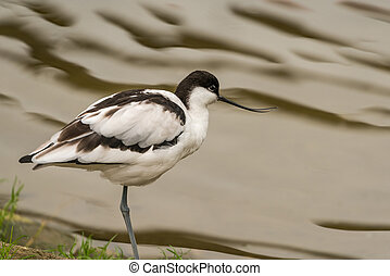 Avocet wading bird seen in Norfolk UK