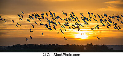 avocetas, multitud, vuelo