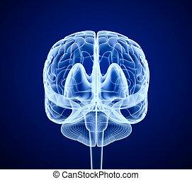 avsöka, , hjärna, främre del, röntga, synhåll