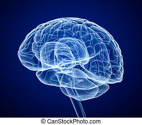avsöka, hjärna, röntga