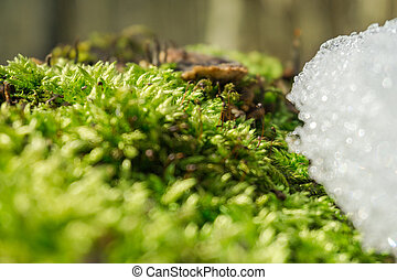 Awakening of Spring. Fresh moss fights against snow and ice....