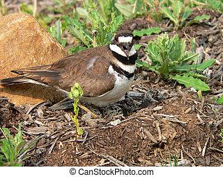 Away from My Kids! - Killdeer on nest screeching
