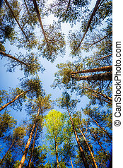 Awesome beech forest seen from below