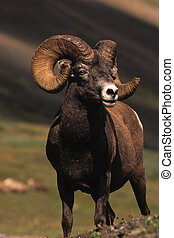 Awesome Bighorn Sheep Ram
