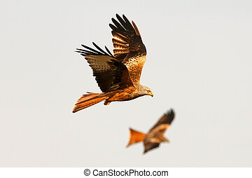 Awesome birds of prey in flight with the sky of background