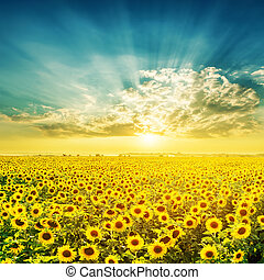 awesome sunset over field with sunflowers