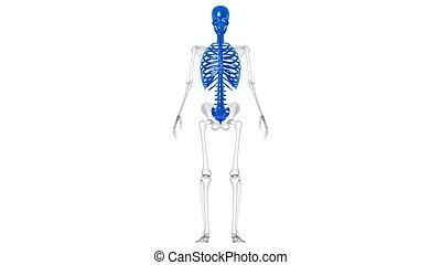 axial, koerperbau, menschliches skelett, 3d
